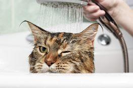 Kot biorący kąpiel