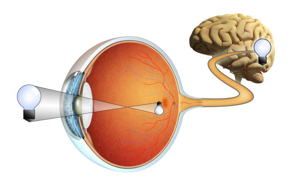 kora-wzrokowa-oko