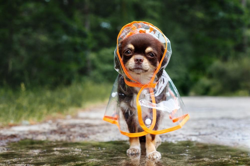 Pies w płaszczu przeciwdeszczowym