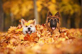 Dwa psy pod suchymi liśćmi