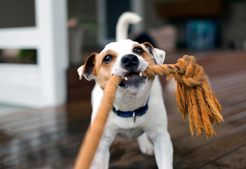 Pies szarpie linę