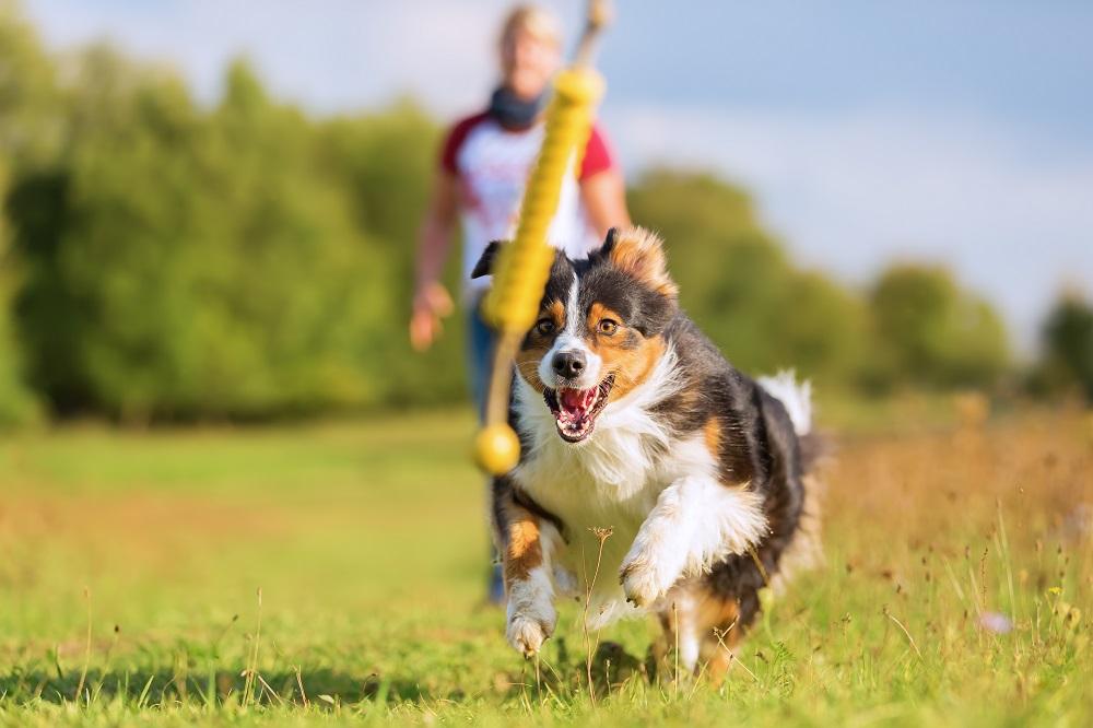 Pies biegnie za zabawką