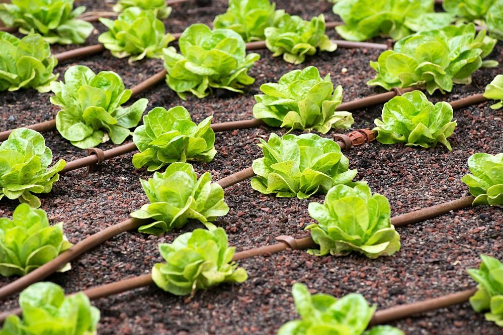 Plantacja sałaty podlewana za pomocą systemu nawadniającego