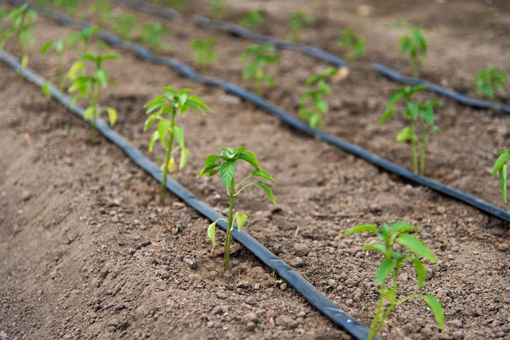 Nawadnianie roślin na plantacji
