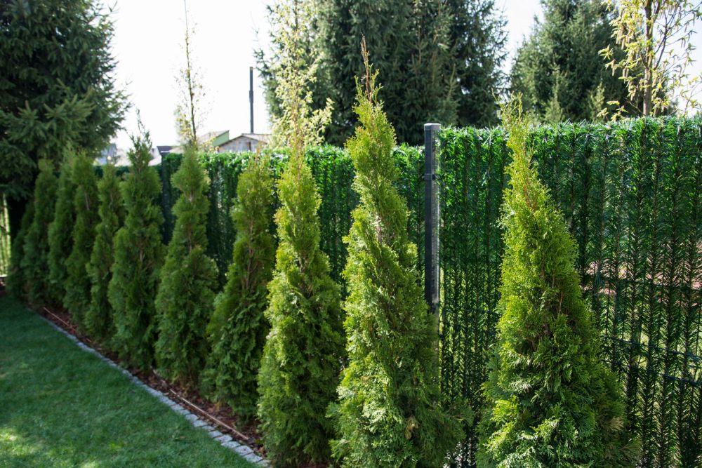 tuje-jako-zielony-zywoplot-w-ogrodzie