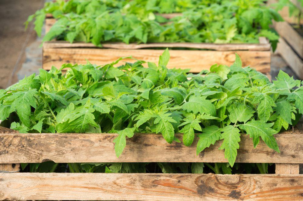uprawa-warzyw-w-skrzynkach