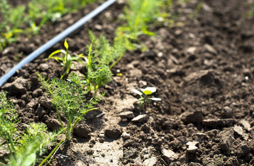 linia-kroplujaca-system-nawadniania-ogrodek-warzywny