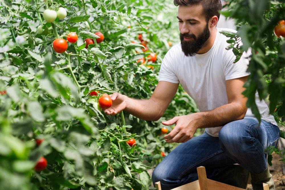 mezczyna-zrywa-pomidora
