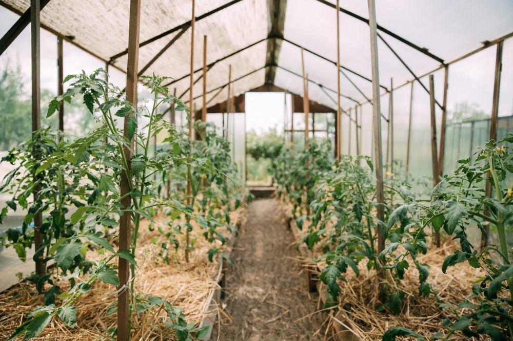 szklarnia-przeznaczona-na-uprawe-pomidorow