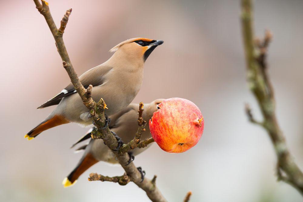 dwa-ptaki-na-galezi-trzymaja-jablko-w-dziobie
